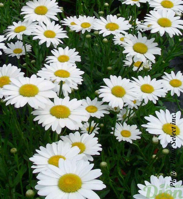chrysanthemum-superbum-becky.jpg