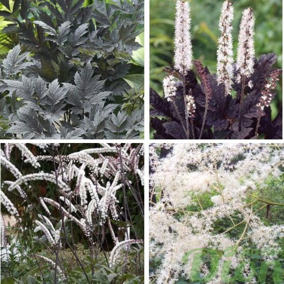 Cimicifuga ramosa 'Chocoolic', 'Brunette, 'Atropurpurea' et dahurica.