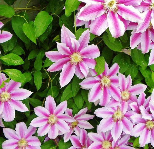 clematis-nelly-moser-clematite-nelly-moser.jpg