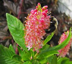 clethra.alnifolia.ruby-spice.clethre.png