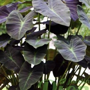 Colocasia 'Coal minor'