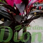 cordyline-fruticosa