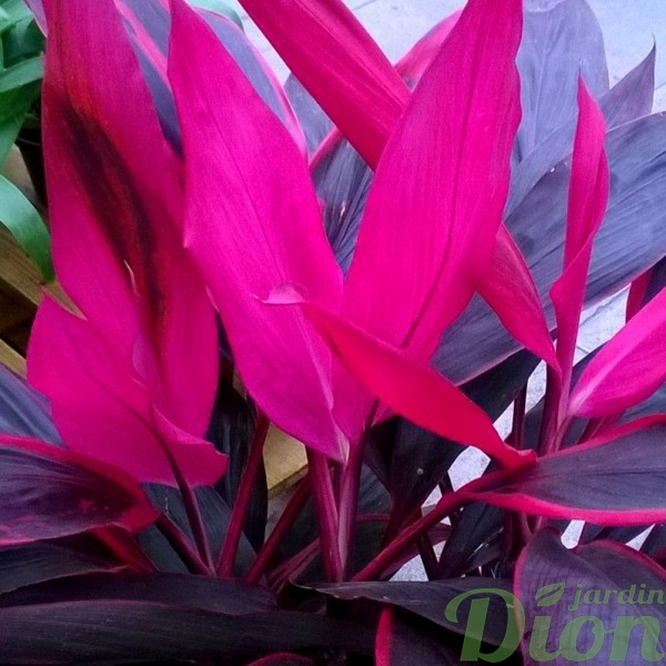cordyline-fruticosa-feuilles