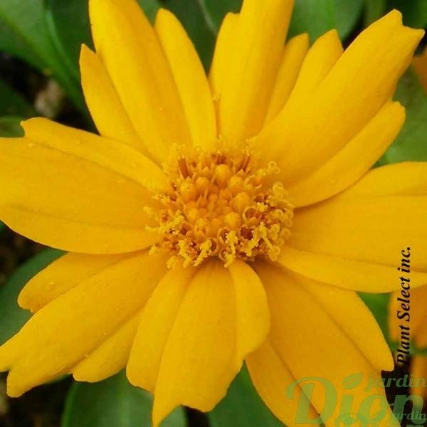 coreopsis-auriculata-nana.jpg