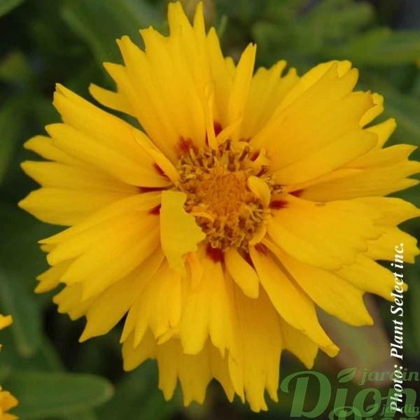 coreopsis-g.rising-sun.jpg