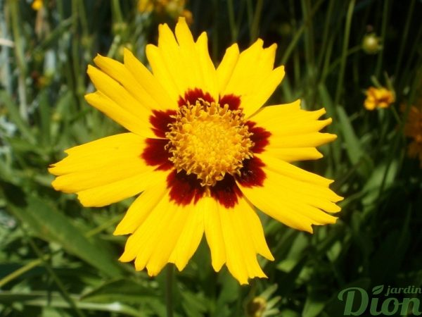 coreopsis-grandiflora-baby-sun