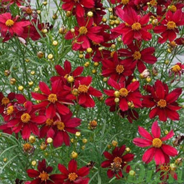 coreopsis-red-satin.jpg