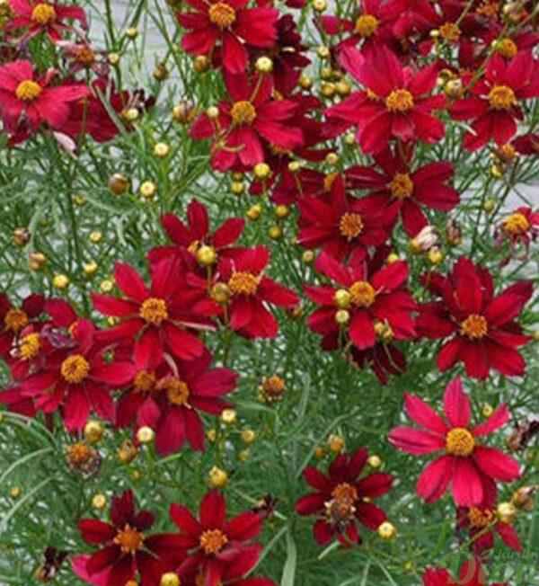 coreopsis-red-satin.jpg