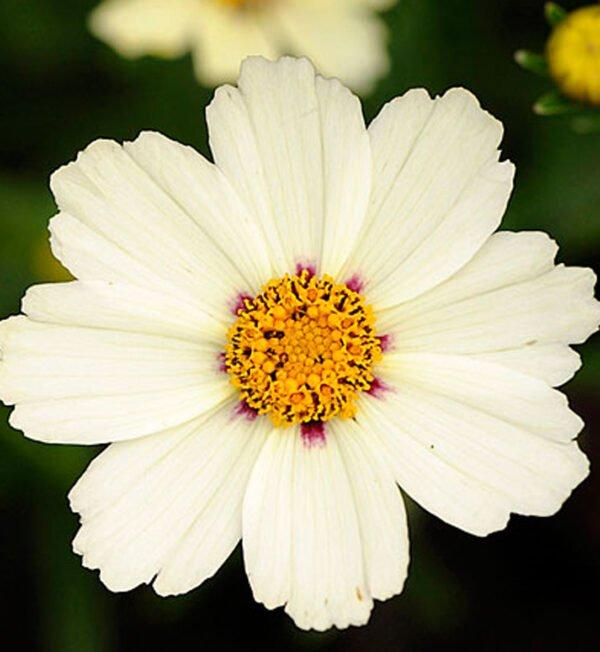 coreopsis-star-cluster.jpg