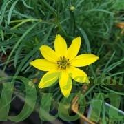 coreopsis-verticillata-zagreb-verticillé - Copie