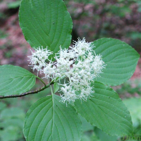 Fleurs du cornouiller à feuilles alternes