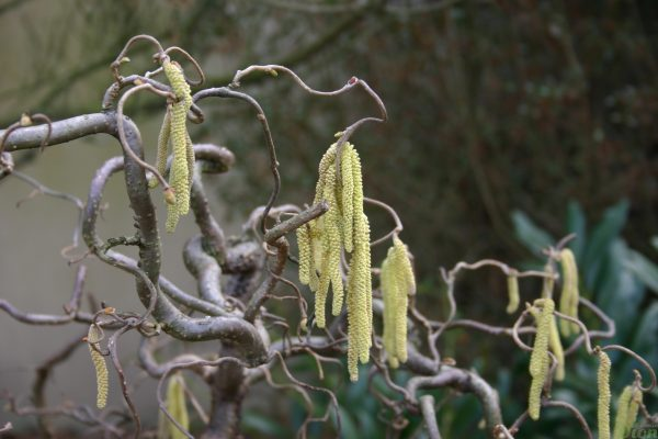 Corylus avellana 'Contorta' – Fleurs mâles (chatons)