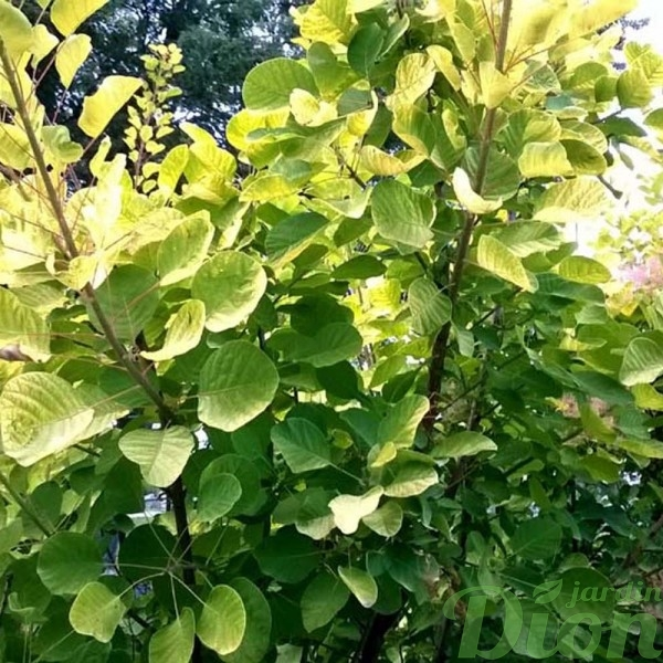 cotinus-coggygria-golden spirit-arbre à boucane-arbre à perruques