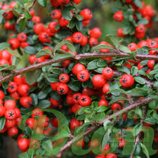 cotoneaster.dammeri.coral-beauty.png
