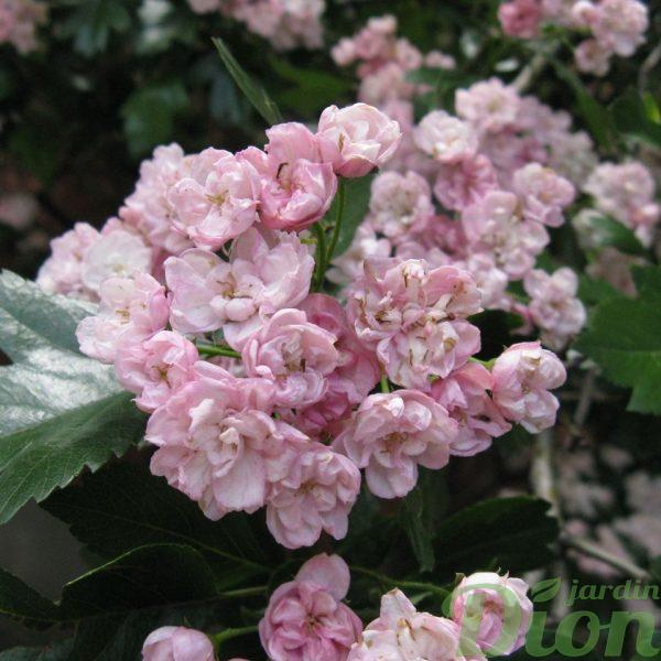 Crataegus mordensis 'Toba' – Fleurs