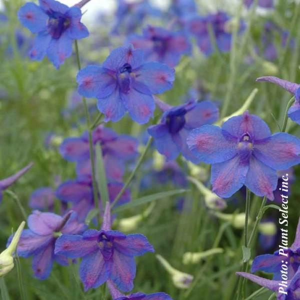 delphinium-g.blue-butterfly.jpg