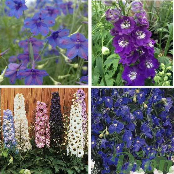 Delphinium elatum gr. 'Blue butterfly, m.f. 'Dark blue', gamme de couleurd, gr. 'Summer night'