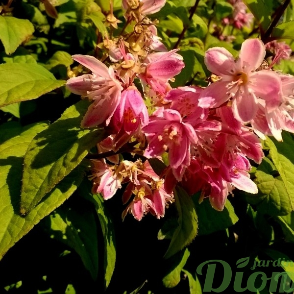 deutzia_pink a boo_fleurs