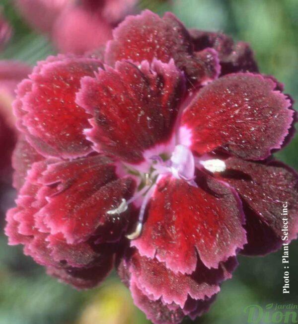 dianthus-black-cherry-wild.jpg
