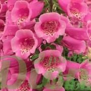 digitalis-purpurea-camelot-rose-digitale-2