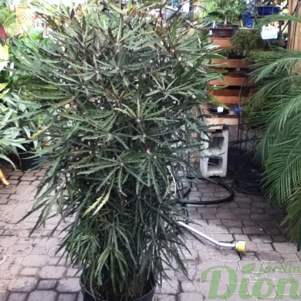dizygotheca-elegantissima.jpg
