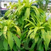 dracaena-deremensis-limelight