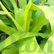 dracaena-deremensis-limelight-feuillage