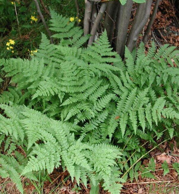 dryopteris-spinulosa.jpg