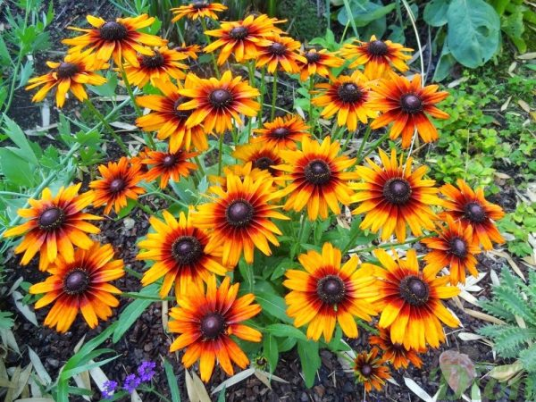 echibeckia-summerina-orange