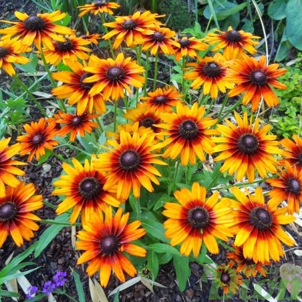 echibeckia-summerina-orange