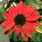 echinacea-cheyenne-spirit-echinacee
