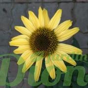 echinacea-cheyenne-spirit-echinacee-3