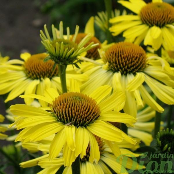 echinacea-cleopatra.jpg