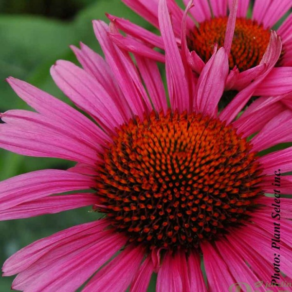 echinacea-fatal-attraction.jpg