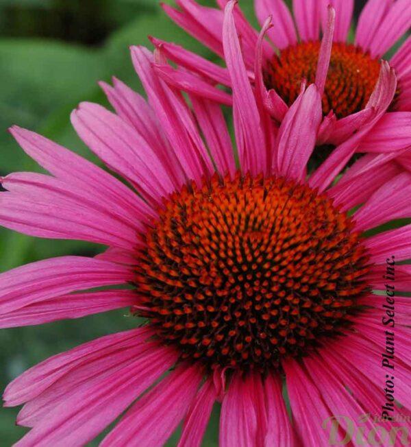 echinacea-fatal-attraction.jpg