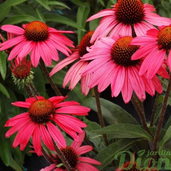 echinacea-glowing-dream.jpg