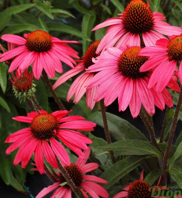 echinacea-glowing-dream.jpg