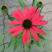 Echinacea 'Glowing dream'