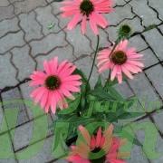 echinacea-glowing-dream-echinacee-4