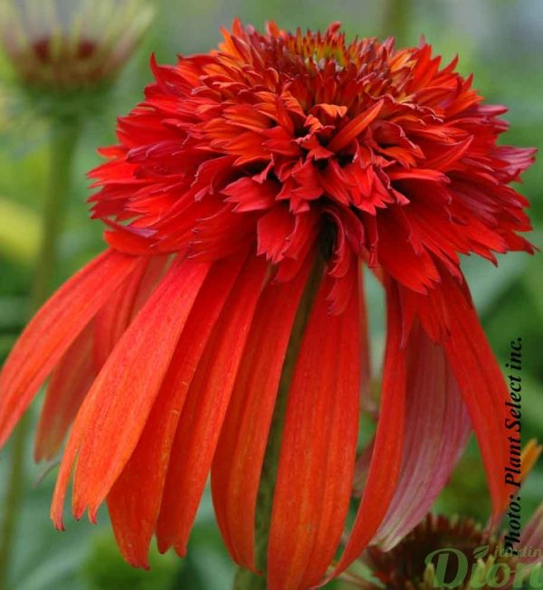 echinacea-hot-papaya.jpg
