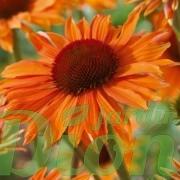 Echinacea 'Orange passion'