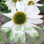 echinacea-pow-wow-white-echinacee-3