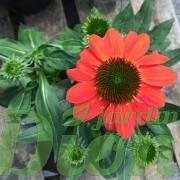 echinacea-sombrero-flamenco-orange-echinacee