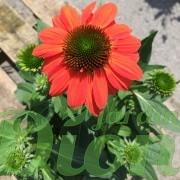echinacea-sombrero-flamenco-orange-echinacee-3