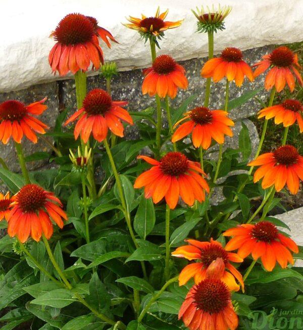 echinacea-sombrero-flaminco-orange.jpg