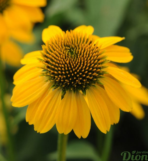 echinacea-sombrero-lemon-yellow.jpg