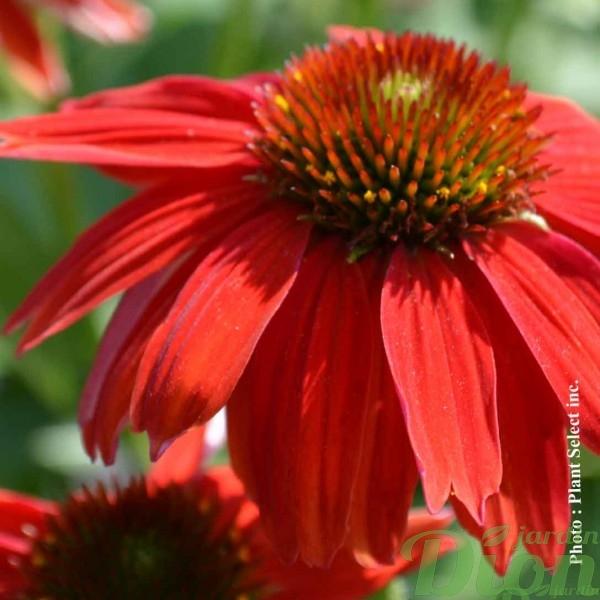 echinacea-sombrero-salsa-red.jpg