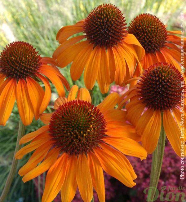 echinacea-tiki-torch.jpg