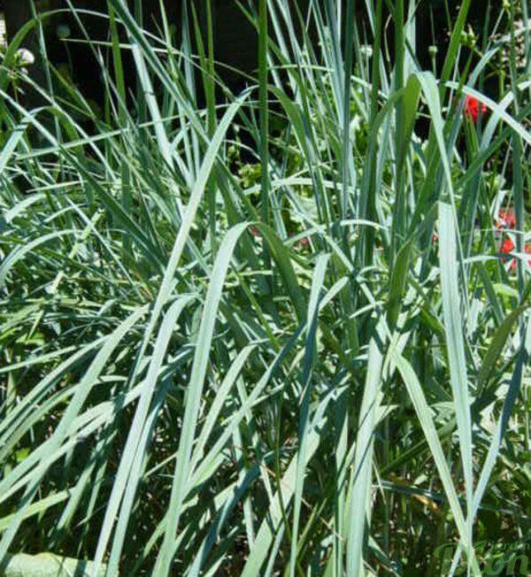 elymus-arenarius-glaucus.jpg