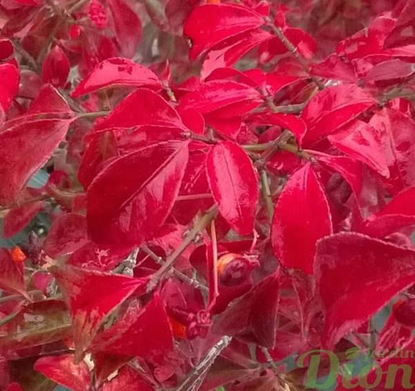 euonymus-alata-compacta-fusain ailé nain-feuillage rouge-automne
